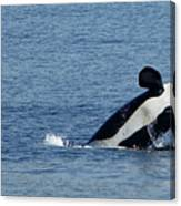 One Orca Leaping Canvas Print