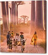 Ox Cart On The Avenue Of The Baobabs Canvas Print