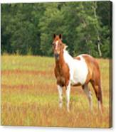 Paint Horse In Meadow Canvas Print