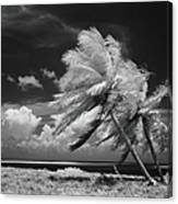 Palm Trees Blowing In Wind Canvas Print