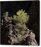 Palo Verde Spotlight-sq Canvas Print