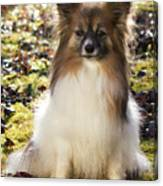 Papillon Sitting In Leaves Canvas Print