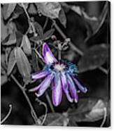 Passion Flower Only Alt Canvas Print