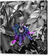 Passion Flower Only Canvas Print