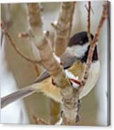 Peaceful Winter Chickadee  Canvas Print