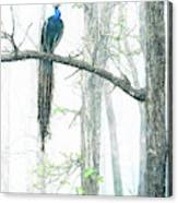 Peacock In Winter Mist Canvas Print