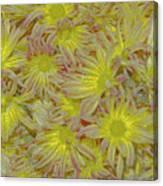 Pelee Mums Plus Canvas Print