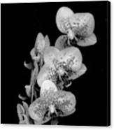 Phalaenopsis Orchids Black And White Canvas Print
