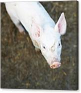 Pig Standing In Dirt Field Canvas Print