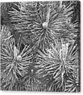 Pine Cones And Needles, Close-up B&w Canvas Print
