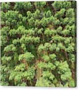 Pine Rows Aerial 2x1 Canvas Print