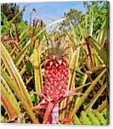 Pineapple Plant Ananas Pico Island Azores Portugal Canvas Print