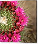 Pink Cactus Flower In Full Bloom Canvas Print