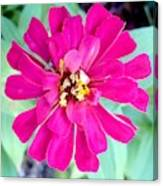 Pink Zinnia With Spider Canvas Print