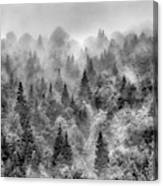 Pinsapos Into The Woods. Bw. Foggy Sunrise Canvas Print