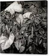 Planter Canvas Print