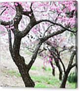 Plum Blossoms Canvas Print