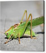 Portrait Of A Great Green Bush-cricket Sitting On The Pavement Canvas Print