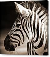 Portrait Of A Young Zebra Canvas Print