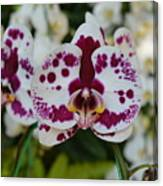 Portrait Of An Orchid Canvas Print