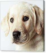 Portrait Of Blond Labrador Retriever Canvas Print