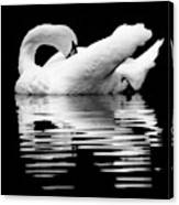 Preening Mute Swan Black And White Canvas Print