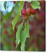 Pretty Cherries Hanging From Tree Canvas Print