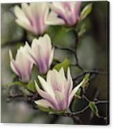 Pretty White And Pink Magnolia Canvas Print