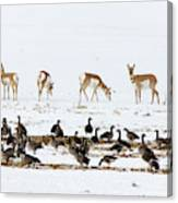 Pronghorn Antelope And Geese Canvas Print