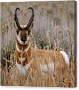 Pronghorn In The Sage Canvas Print