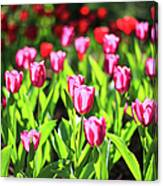Purple And Red Tulips Under Sun Light Canvas Print