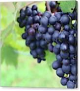 Purple Grape Bunches 21 Canvas Print