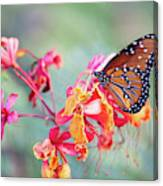 Queen Butterfly On Mexican Bird Of Paradise  Canvas Print