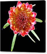 Queen Protea Top Canvas Print