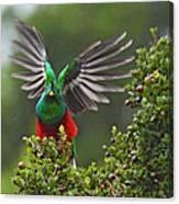 Quetzal Taking Flight Canvas Print