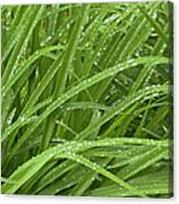 Raindrops Of Daylily Foliage Canvas Print