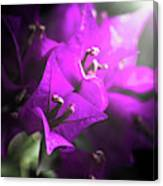 Rays Of Bougainvillea Canvas Print