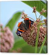 Red Admiral Butterfly On Milkweed Canvas Print