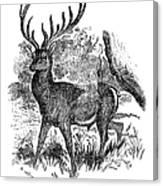Red Deer Stag Engraving Canvas Print