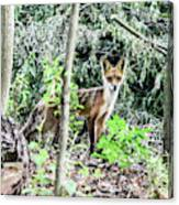 Red Fox In The Woods Canvas Print