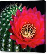 Red Hot Torch Cactus  Canvas Print