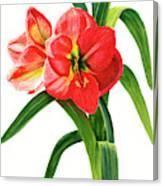 Red-orange Amaryllis Canvas Print