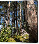 Red Pine Itasca Canvas Print