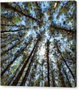 Red Pines 1 Canvas Print
