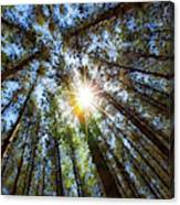 Red Pines 2 Canvas Print