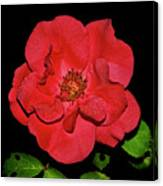 Red Rose With Dewdrops 038 Canvas Print
