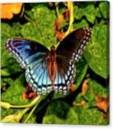 Red-spotted Purple Butterfly 017 Canvas Print