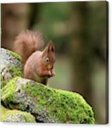 Red Squirrel Sciurus Vulgaris Eating A Seed On A Stone Wall Canvas Print