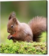 Red Squirrel Sciurus Vulgaris Canvas Print