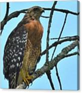 Red Shouldered Hawk Panorama Canvas Print